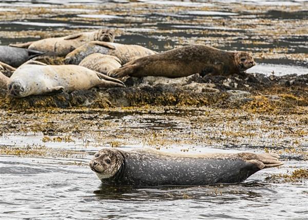 Kenmare Bay zeehondenkolonie